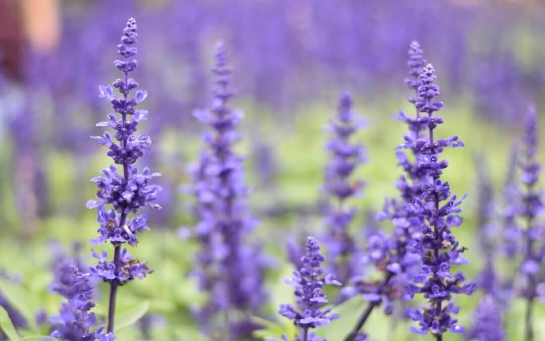 Intro to Lavender
